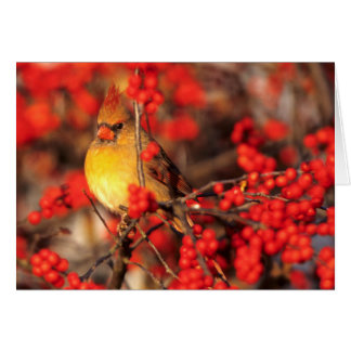 Cardinal female and red berries, IL Card