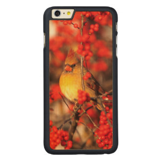 Cardinal female and red berries, IL Carved® Maple iPhone 6 Plus Case