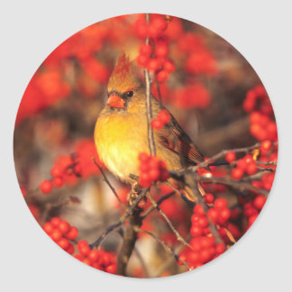 Cardinal female and red berries, IL Classic Round Sticker