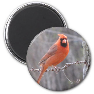 Cardinal on barbed wire fridge magnets