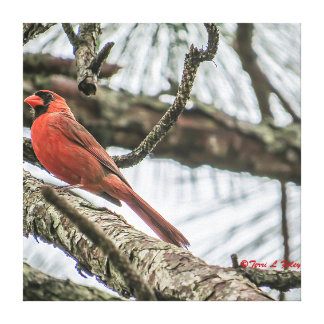 Cardinal Sitting in a Pine Tree Canvas Print