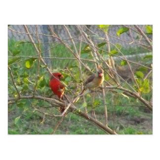 Cardinals Postcard