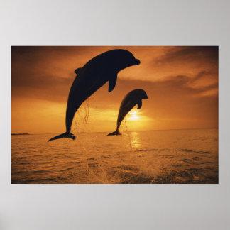Caribbean, Bottlenose Dolphin Poster