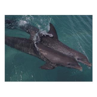 Caribbean, Bottlenose dolphins Tursiops 10 Postcard