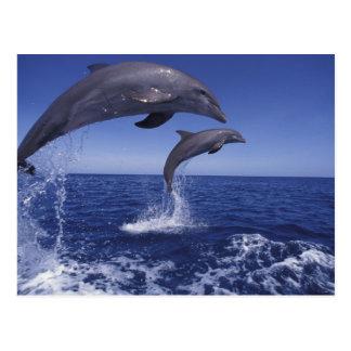 Caribbean, Bottlenose dolphins Tursiops 12 Postcard
