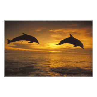 Caribbean, Bottlenose dolphins Tursiops 15 Photo Print