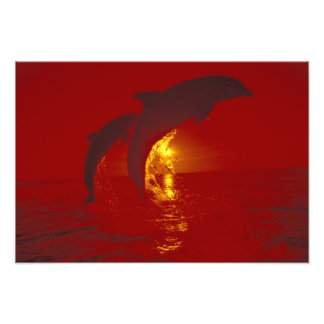 Caribbean, Bottlenose dolphins Tursiops 3 Photo Print