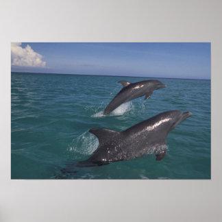 Caribbean, Bottlenose dolphins Tursiops 4 Poster