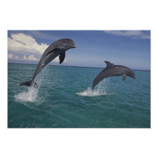 Caribbean Bottlenose dolphins Tursiops 7 Poster