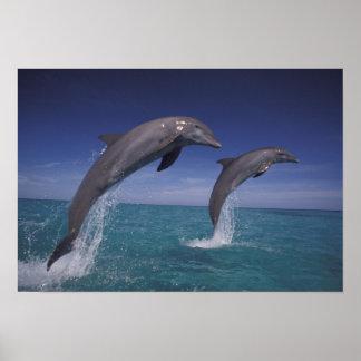 Caribbean, Bottlenose dolphins Tursiops 8 Poster