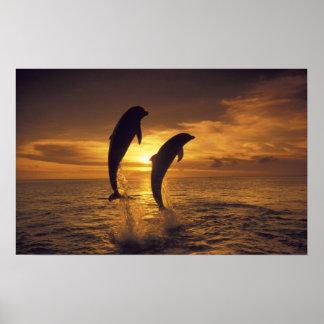 Caribbean, Bottlenose dolphins Tursiops 9 Poster