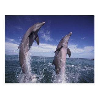 Caribbean, Bottlenose dolphins Tursiops Postcard