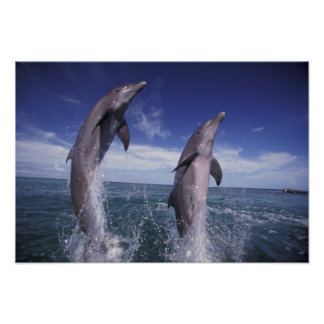 Caribbean, Bottlenose dolphins Tursiops Poster