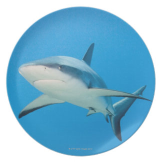 Caribbean reef shark (Carcharhinus perezi) Plate