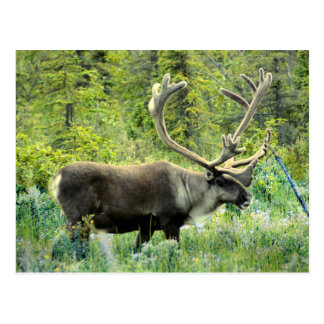 Caribou on Kenai Peninsula, Alaska Postcard