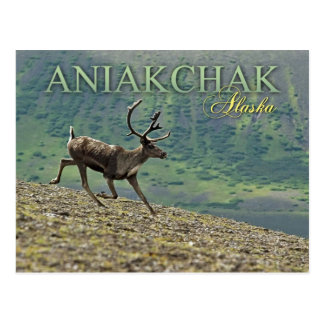 Caribou running in Aniakchak Caldera, Alaska Postcard