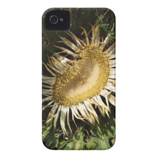 Carline thistle (Carlina acanthifolia) iPhone 4 Covers