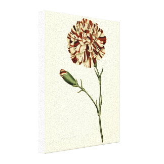 Carnation Stretched Canvas Print