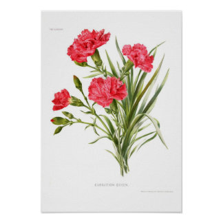 Carnation 'Queen' Posters