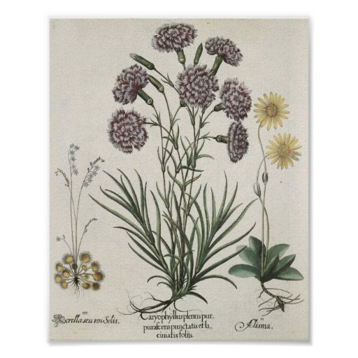 Carnations Posters