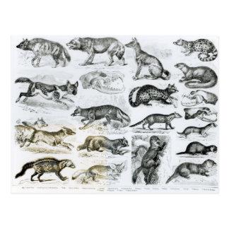 Carnivorous Animals Postcard