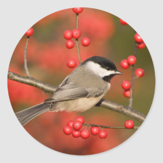 Carolina Chickadee on Common Winterberry bush Classic Round Sticker