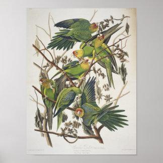 Carolina Parakeet, from 'Birds of America', 1829 Poster