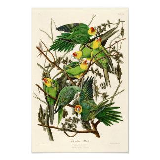 Carolina Parrot John Audubon Birds of Ameria Photo Print