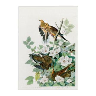 Carolina Turtle Dove, Birds of America by John Jam Acrylic Wall Art