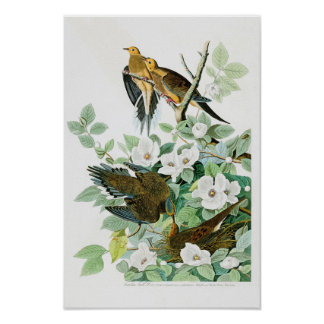 Carolina Turtle Dove John Audubon Birds of America Poster
