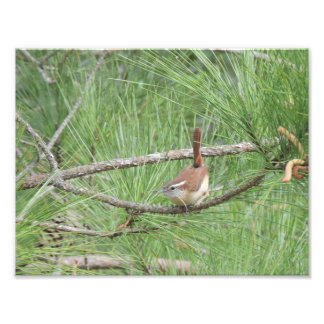 Carolina Wren in Pine Tree Photo Print