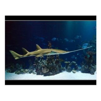 Carpenter Shark Postcard