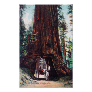 Carriage Travelling Under a Giant Redwood Poster