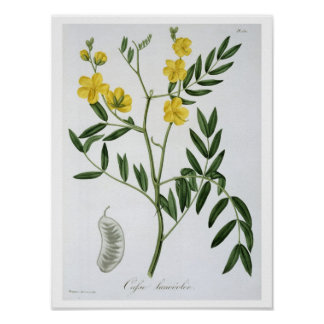 Cassia from 'Phytographie Medicale' by Joseph Roqu Poster