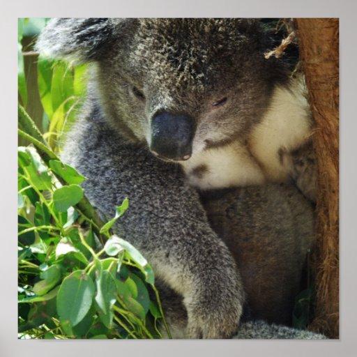 Casual Koala Poster
