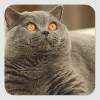 Cat: British Shorthair Cat Square Sticker