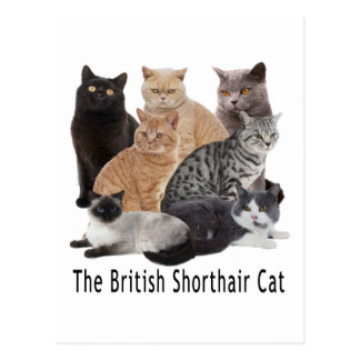 Cat Family British Shorthair Postcard