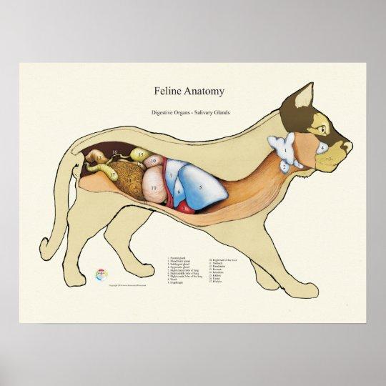 Cat Internal Digestive Anatomy Veterinary Chart