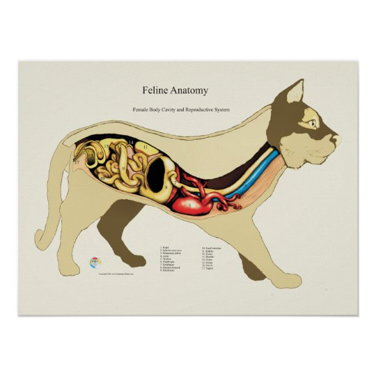 Cat Internal Female Anatomy Veterinary Chart