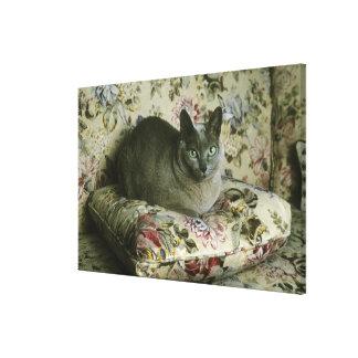 Cat, Minnie, Tonkinese. Canvas Prints