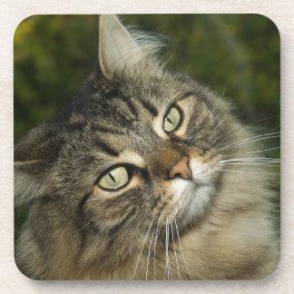 Cat Norwegian Forest Cat Sweet Domestic Cat Curiou Coaster