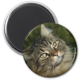 Cat Norwegian Forest Cat Sweet Domestic Cat Curiou Magnet