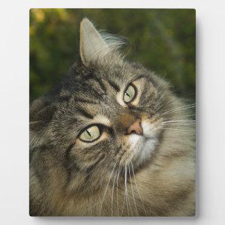 Cat Norwegian Forest Cat Sweet Domestic Cat Curiou Plaque