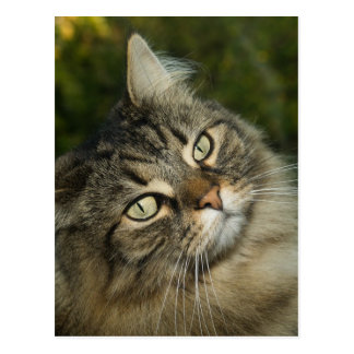 Cat Norwegian Forest Cat Sweet Domestic Cat Curiou Postcard