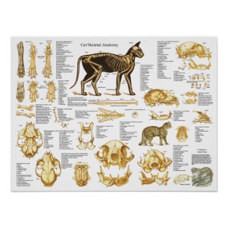 Cat Skeletal Skull Anatomy Poster 18 X 24