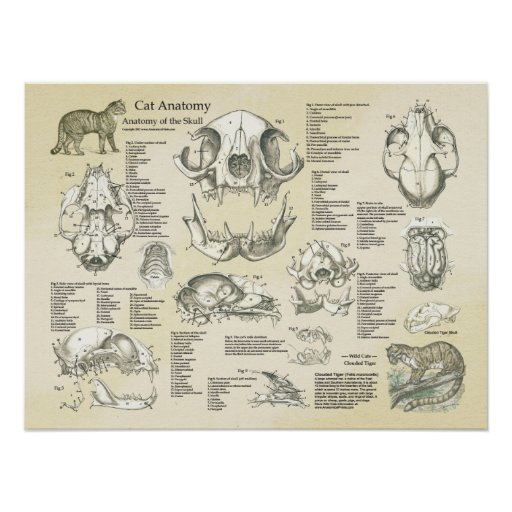 Cat Skeletal Skull Bones Anatomy Chart