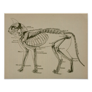 Cat Skeleton Anatomy Vintage Veterinary Print