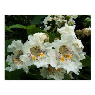 Catalpa blooms ~ postcard