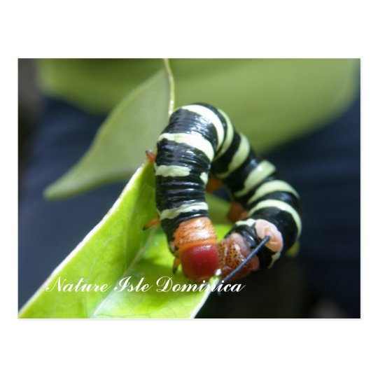Caterpillar  On Leaf Postcard