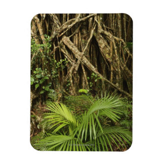 Cathedral Fig, Yungaburra, Atherton Tableland Rectangular Photo Magnet